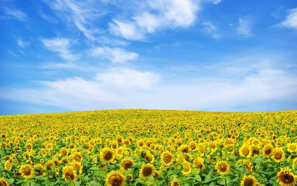 sunflower_landscape-wide